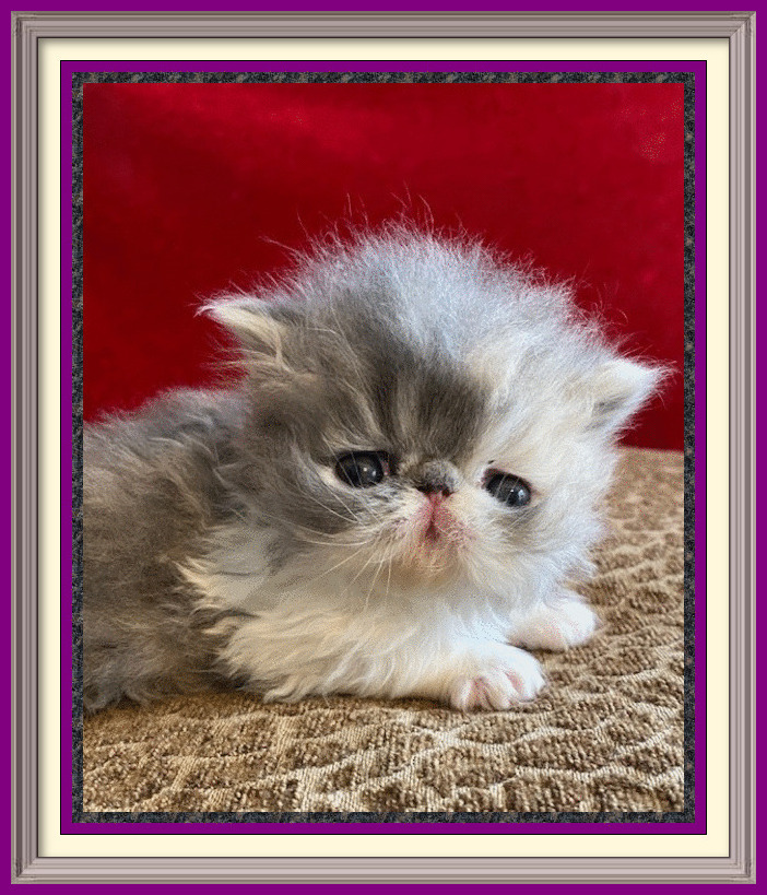 Dilute Calico - blue patch baby girl - dob 02-21-2020 - framed