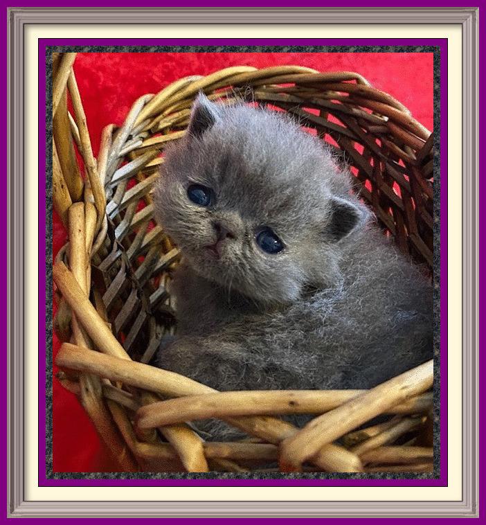 Shorthair female born 03-26-2020 - framed