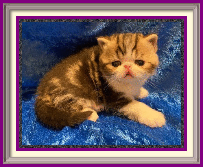 Brown Classice Tabby and White Male Born 08-21-2020-framed