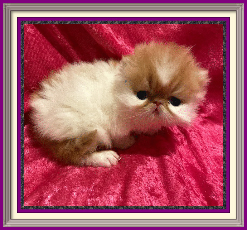 Red and white long hair male born 8-21-2020-framed