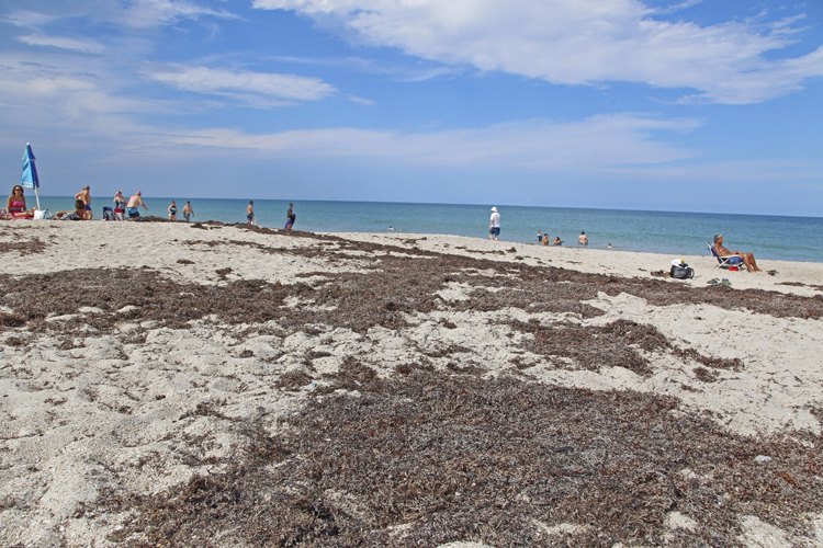 Seaweed On Our Beaches It Looks Like This Will Be The Worst Ever 32963 News Vero