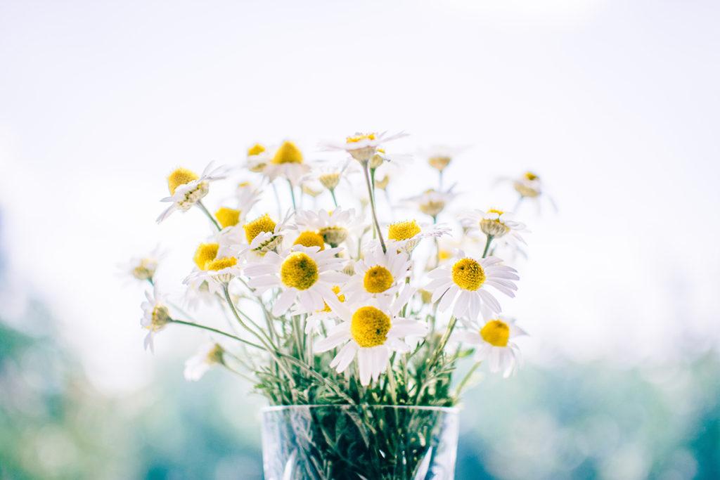 Foto de flores de manzanilla para pinta le cabello