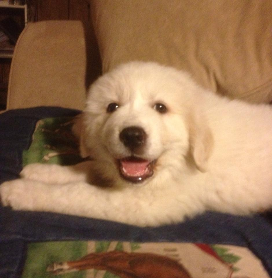Pyrenees Puppy At Home
