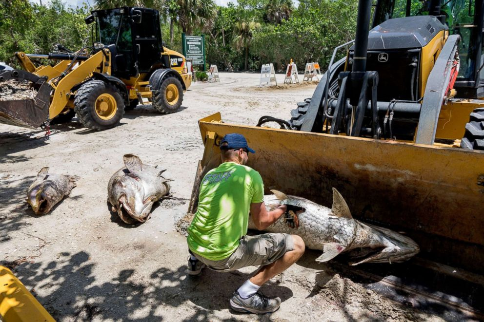 PHOTO: A worker cleaning out dead fish due to a red tide in Captiva, Fla., on Aug. 3, 2018. The current red tide has stayed along the coast for around 10 months, killing massive amounts sea life.