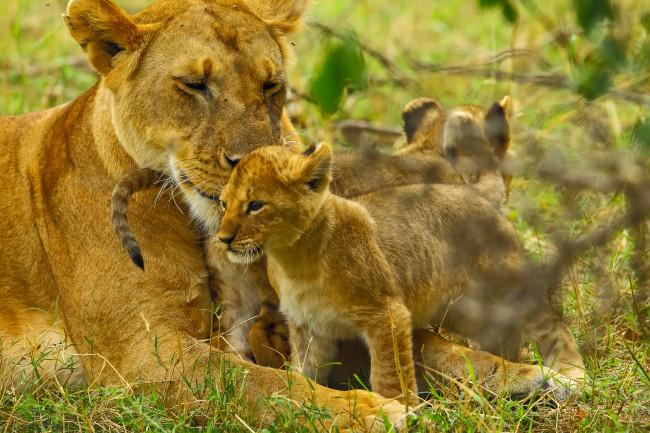 SERENGETI - Lionesses (Panthera leo) are loving and caring mothers. (photo credit:  Doclights GmbH / NDR Naturfilm)