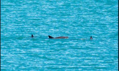 Vaquita marina cría