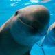 Vaquita Marina, Marina, Vaquita, Extinción, peligro, Golfo, Baja California, científico, Mar, océano, Sea Shepard, Cuidado, Medio Ambiente