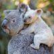 """ONG afirma que el koala está """"funcionalmente extinto"""""""