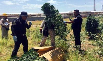 Hallan plantío de marihuana en la refinería de Cadereyta