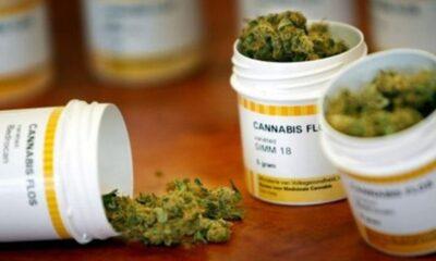 Discutirán en comisiones del Senado regular la cannabis