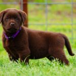 best-lab-breeder-texas-california