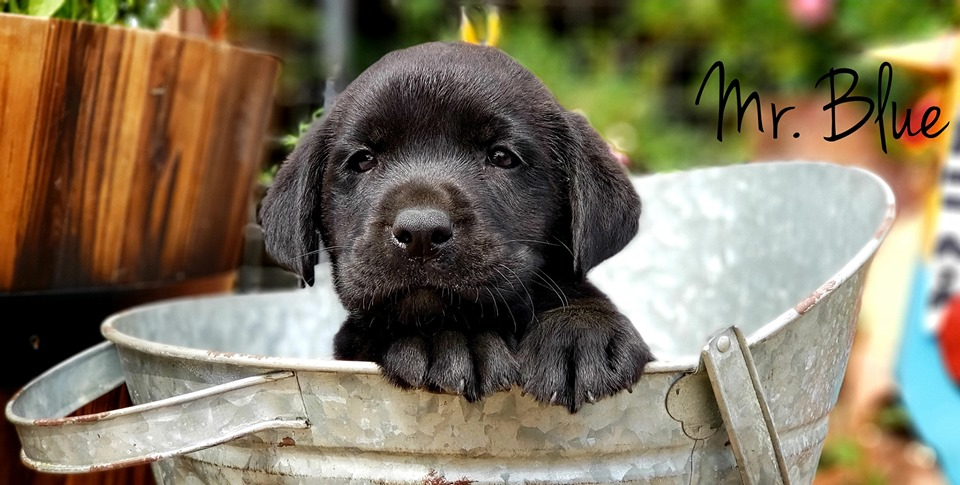 silver, Chocolate, black, champagne lab puppies texas