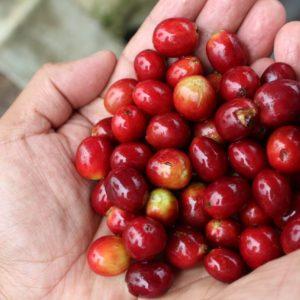 Mayan grown organic coffee solola coffee