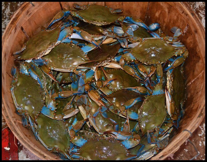 Live Maryland Crabs