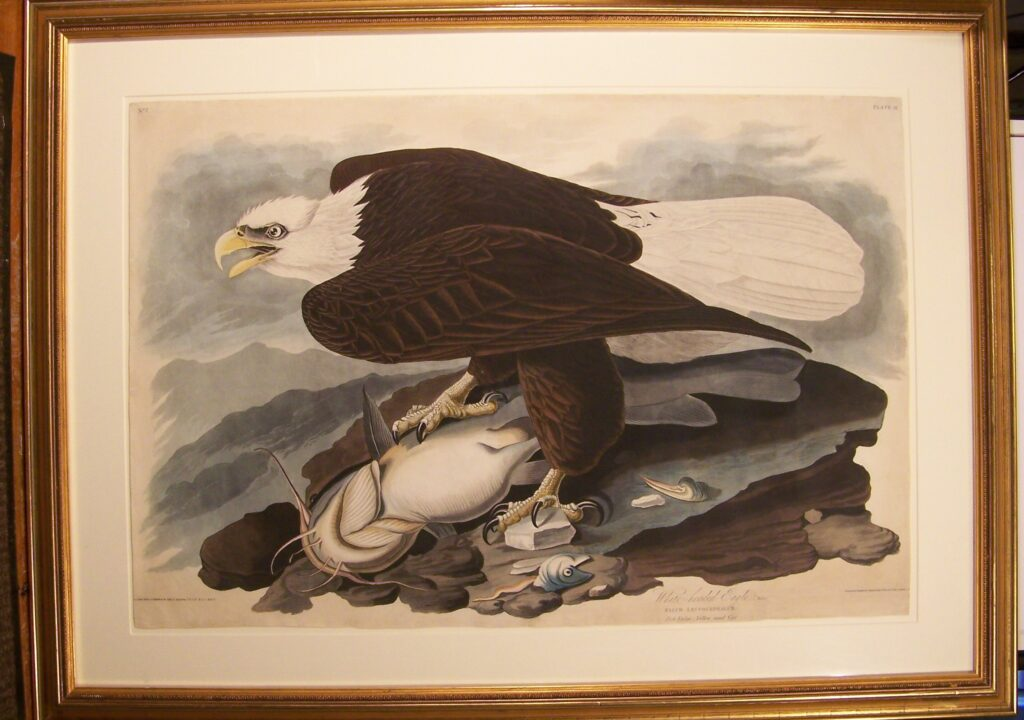 "Photograph of the engraving, ""White-headed Eagle,"" by John James Audubon (1785-1851). John James Audubon State Park Museum Collection, 1938.1500."