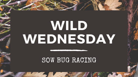 Wild Wednesday: Sow Bug Racing
