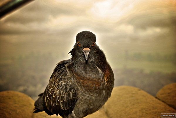NYC Pigeon - Jay Franco