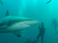Aliwal Dive Centre-shark and two divers