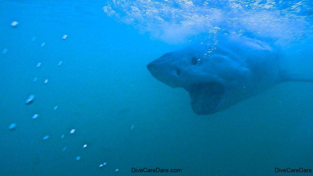 Great White Shark Tours Gansbaai South Africa caged diving 16