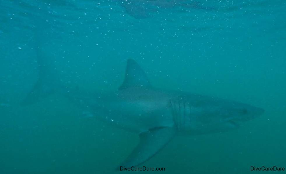 Great White Shark Tours Gansbaai South Africa caged diving 21