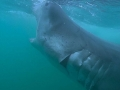 Great White Shark Tours Gansbaai South Africa caged diving 12