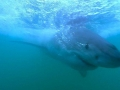 Great White Shark Tours Gansbaai South Africa caged diving 14