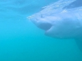 Great White Shark Tours Gansbaai South Africa caged diving 18