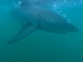 Great White Shark Tours Gansbaai South Africa caged diving 22