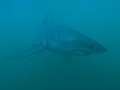 Great White Shark Tours Gansbaai South Africa caged diving 23