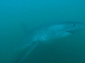 Great White Shark Tours Gansbaai South Africa caged diving 24