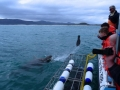 Great White Shark Tours Gansbaai South Africa caged diving  3