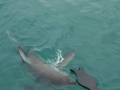 Great White Shark Tours Gansbaai South Africa caged diving 33