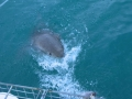 Great White Shark Tours Gansbaai South Africa caged diving 35