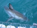 Great White Shark Tours Gansbaai South Africa caged diving 36