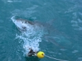 Great White Shark Tours Gansbaai South Africa caged diving 37