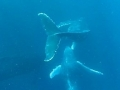 Snorkeling with humpback whales at Coffee Bay, South Africa