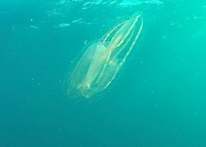 Adventure Protea Banks-comb jelly