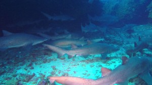 African Dive Adventures-grey nurse sharks