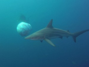 African Dive Adventures-Protea Bank-shark and bait ball