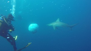 African Dive Adventures-Protea Bank-shark diver round ball