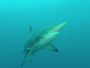 African Dive Adventures-Protea Bank-black tip shark