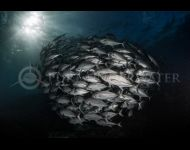 Trevally by Justin Bruhn