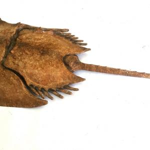 Horse-shoe-crab-02-Feb28