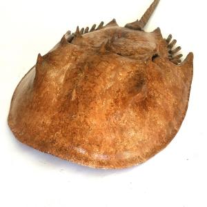 Horse-shoe-crab-03-Feb28