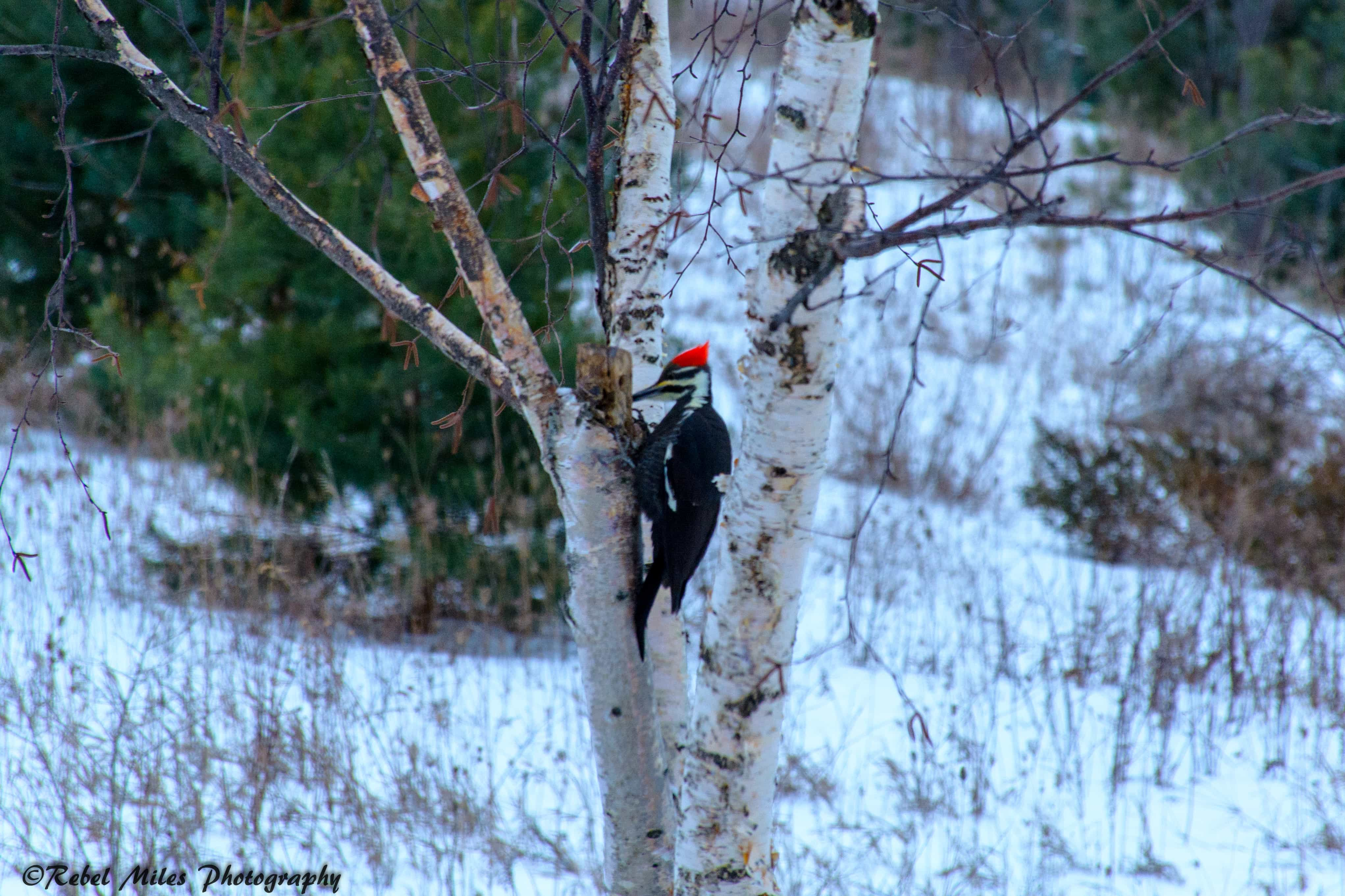 Charlevoix-Pileated-Woodpecker-2