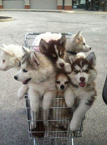 Shopping cart full of husky puppies with a Chihuahua bonus!
