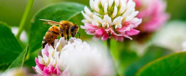 Honey bee foraging on clover