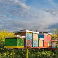 Colorful beehives in field of mustard