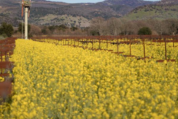 Oakville Mustard 2 - Web Res (1 of 1)