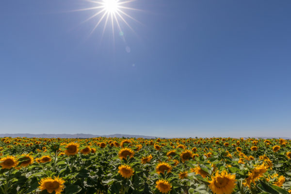 California Sunflowers - Web Size (1 of 1)